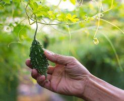 ゴーヤ 栽培 防虫 対策 虫