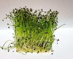 クレソン 種 収穫 方法 時期