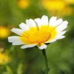 春菊の畑での育て方!花の色は?