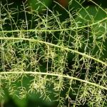 観葉植物のアスパラガス!いろんな種類があるの?