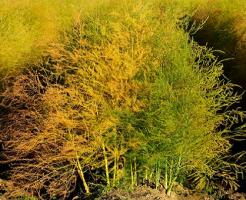 アスパラガス 栽培 株分け 時期