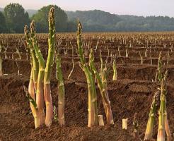 アスパラガス 栽培 肥料 種類 時期