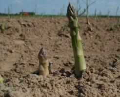 アスパラガス 栽培 収穫 時期 方法
