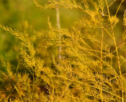 アスパラガス 立茎 方法