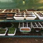 アスパラガスをプランターで栽培しよう!適当な大きさや深さは?