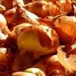 早生品種なのに長期保存?!玉ねぎの品種ソニックの特徴とは?