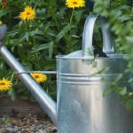家庭菜園で水菜の間引き方法!水菜の水やりの量は?