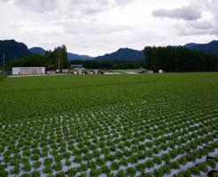 レタス 病気 菌核病 原因 症状 白い斑点 農薬