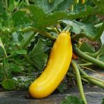 ズッキーニの葉を観察しよう!上手な育て方と葉の活用方法!