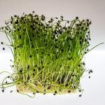 クレソンを種から育てる方法は?収穫の時期は?
