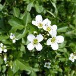 クレソンの栽培について!花が咲く時期はいつ頃?