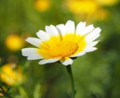 春菊 育て方 花 色 畑