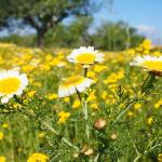 春菊の花!食用としての食べ方とは?