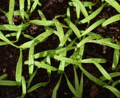 ほうれん草 発芽 枯れる 理由 対策