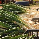 長ネギの苗!作り方から収穫まで!