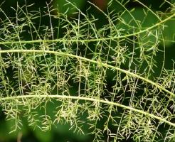 アスパラガス 観葉植物 種類