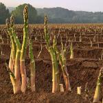 アスパラガスを栽培しよう!肥料の種類と与える時期について!