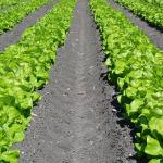 レタスの夏の栽培のポイントは?レタスの夏の栽培になるとう立ちとは?