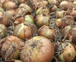 玉ねぎ 種類 特徴