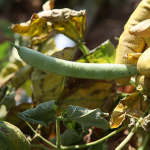インゲンの葉が枯れる原因とは?その対策について!