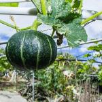 かぼちゃの空中栽培!方法とは?