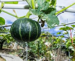 かぼちゃ 空中栽培 方法