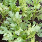 春菊を襲う害虫!対策の農薬について!