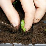 ゴーヤが発芽するまでの期間とは?発芽させるコツは?