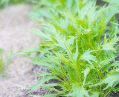 水菜 収穫 方法