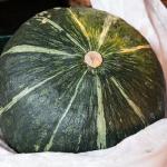 なぜ?冬至かぼちゃ栽培が人気なの?