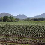 キャベツ栽培農家には広い面積の畑が必要?キャベツの保存方法は?