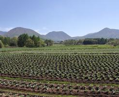 キャベツ 農家 面積 保存 方法