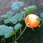 かぼちゃを栽培していたらうどんこ病になった!?症状や治療法とは?