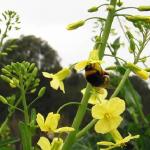 キャベツの花や芽に毒?!体に影響はあるの?
