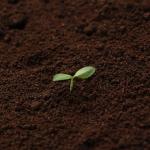 シソの種の発芽させる方法は?発芽日数と条件は?