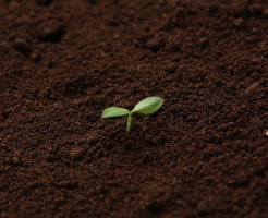 シソ 発芽 方法 日数 条件