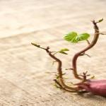 さつまいもの芽には毒があるの?芽の処理方法は?