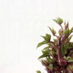 さつまいもの種芋の保存方法を紹介!種芋から苗を作る作り方と植え方も紹介!