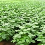 枝豆を農家のように栽培したい!方法を教えます!