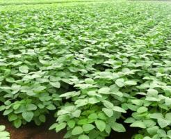 枝豆 農家 栽培