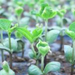 枝豆の育て方!種蒔きの時期とは?間引きは必要?