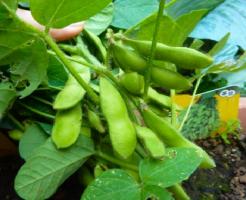 枝豆 プランター 育て方 深さ ネット