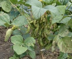 枝豆 葉 さや 変色 原因