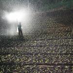 春菊の種類と栽培方法は?移植や水やり!肥料の与え方は?