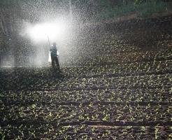 春菊 種類 栽培 移植 水やり 肥料