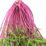 水菜の種類は?水菜にも紫や赤がある?
