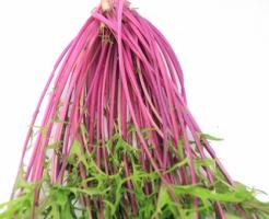 水菜 種類 紫