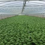 小松菜のハウス栽培!家庭菜園では?
