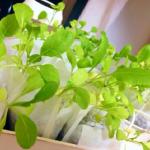 小松菜の苗の育て方!植え付けと間隔とは?