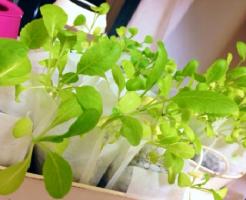小松菜 苗 育て方 植え付け 間隔